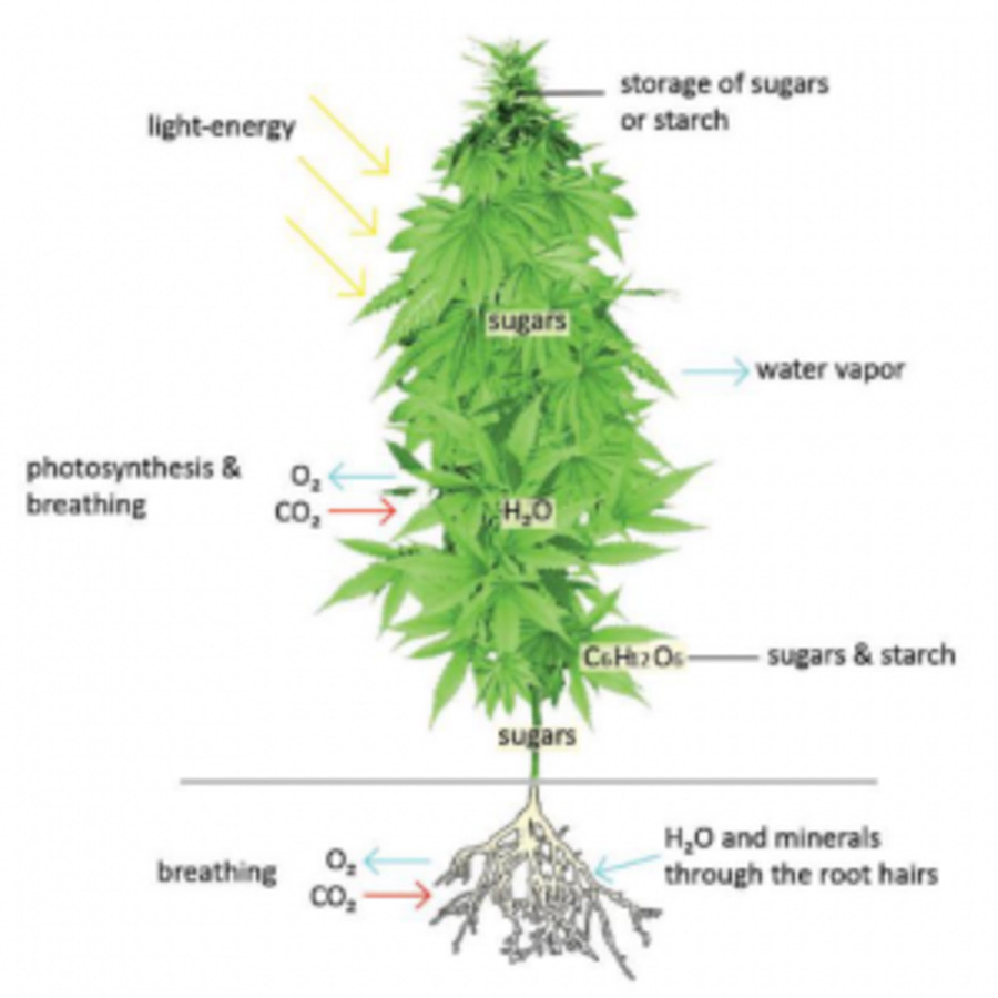 Know the marijuana plant inside and out part 3e stems cannasos know the marijuana plant inside and out part 3e stems nvjuhfo Image collections