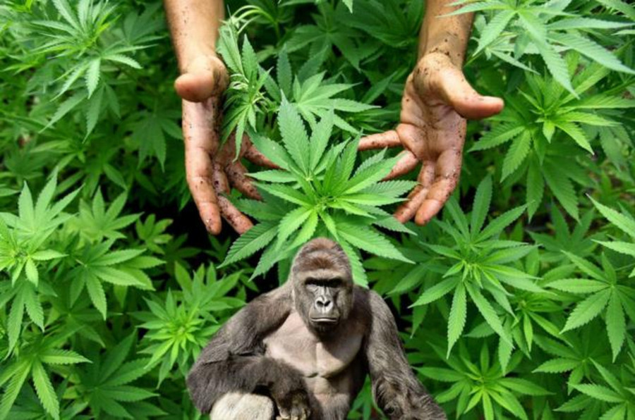 Image result for Harambe Weed Strain