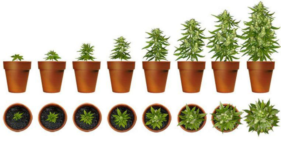 https://cannasos.com/news/grow/how-to-make-your-homegrown-cannabis-taste-better-4-easy-tricks-for-perfect-buds