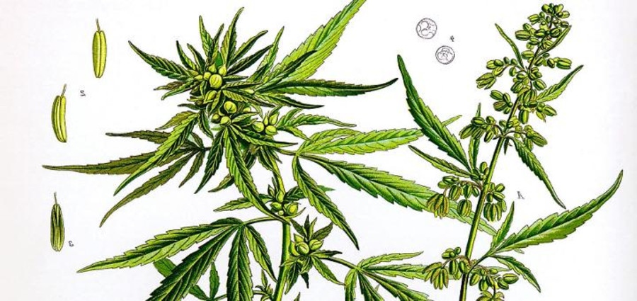 5 Key Differences Between Hemp and Marijuana
