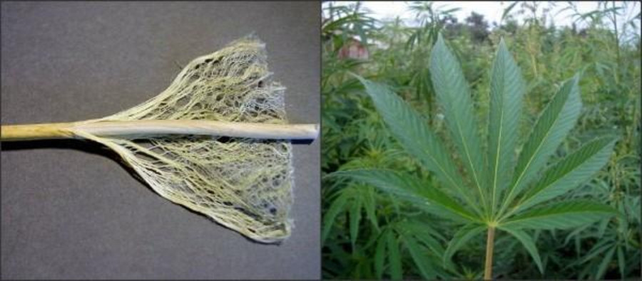 5 Key Differences Between Hemp and Marijuana 4