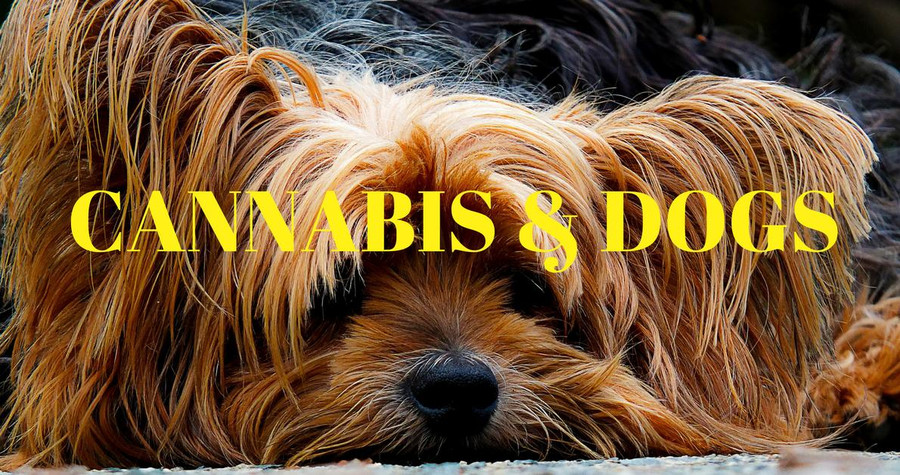 Can You Use Marijuana For Pain Relief On Dogs