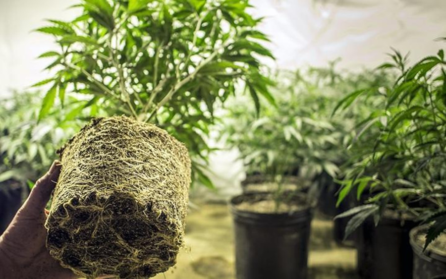 The 5 Easiest Cannabis Strains to Grow for Beginners 1