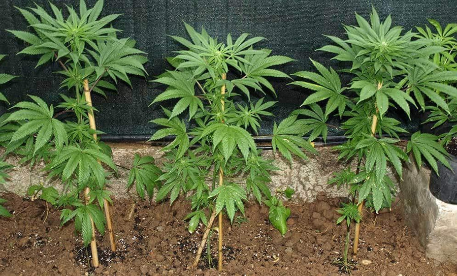 The 5 Easiest Cannabis Strains to Grow for Beginners 2