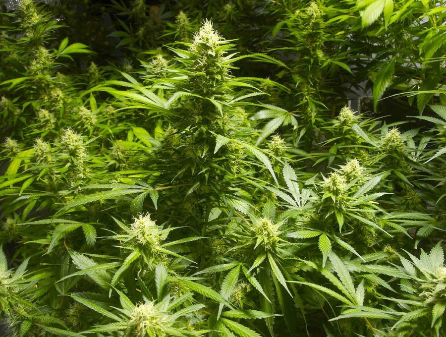 5 Myths About Cannabis Plants That are Grown Outdoor 3