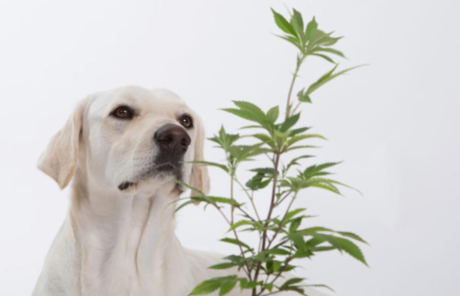 Benefits of Cannabis for Cats and Dogs 3