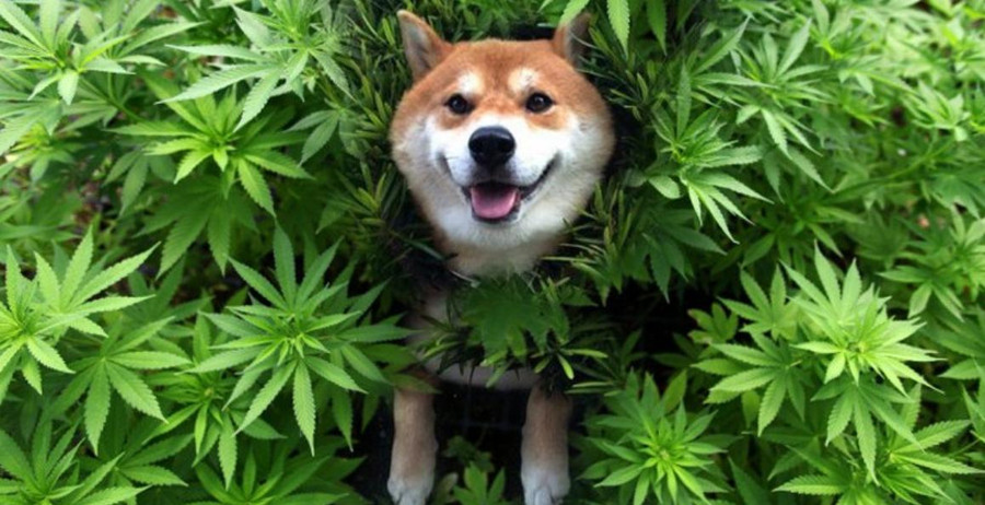Benefits of Cannabis for Cats and Dogs 4